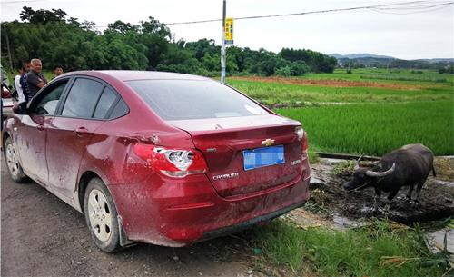 Dường như con trâu đang đứng ăn cỏ thì bị ôtô hất bay xuống mương và đè lên.