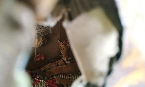 Con hổ tự rời khỏi ngôi nhà nơi nó ẩn náu tạm thời. Ảnh: CNN.