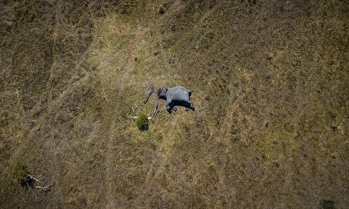 Voi châu Phi trở thành nạn nhân của thợ săn trộm. Ảnh: Justin Sullivan.
