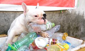 Chú chó thích nhặt ve chai và đi chợ cùng chủ ở Hà Nội