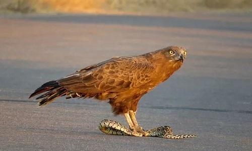 Đại bàng mổ toạc bụng rắn phì kịch độc giữa đường