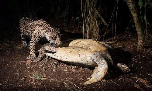 Đôi báo đực xé xác rùa 45 kg trên bãi biển Costa Rica