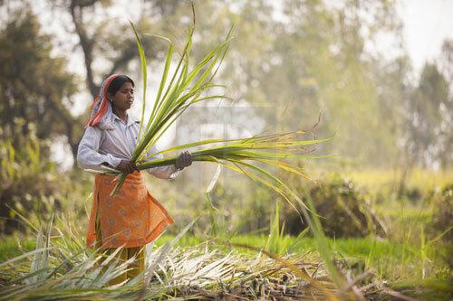 Phụ nữ làm việc trên cánh đồng mía ở bang Maharashtra. Ảnh: AFP.