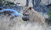 Bị sư tử tấn công, tê tê cuộn tròn khiến kẻ thù bất lực