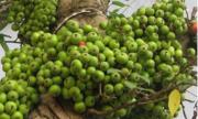 Tại sao khía gốc sung chảy nhựa cây sẽ nhanh ra quả?