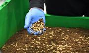 Trang trại nuôi ấu trùng ruồi giúp xử lý thức ăn thừa