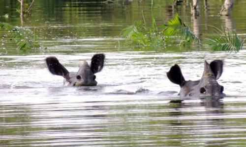 Nhiều động vật hoang dã vẫn còn bị mắc kẹt trong nước ở Kaziranga. Ảnh: Mongabay.