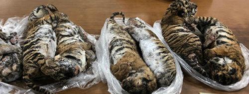 Tang vật vụ án là 7 con hổ đông lạnh.