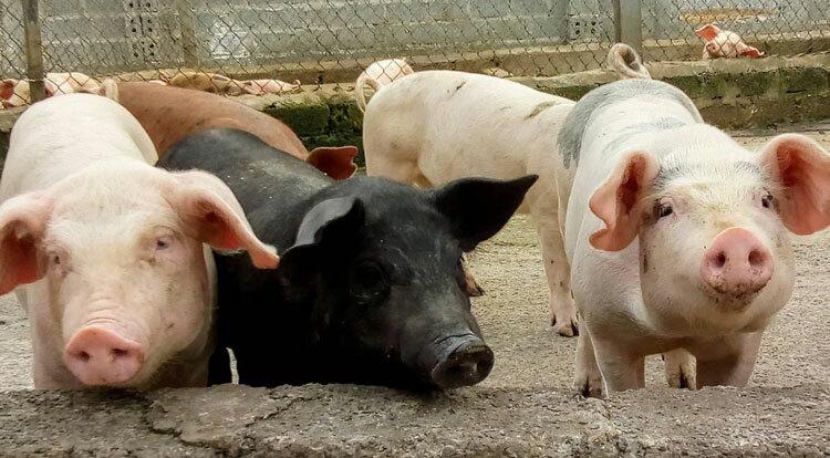 Lợn nuôi tại Nguyên Khôi Farm.