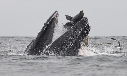 Sư tử biển suýt lọt vào bụng cá voi lưng gù. Ảnh: Chase Dekker.
