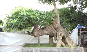 Cây hoa sữa hình 'con voi' hơn 100 tuổi ở Hưng Yên