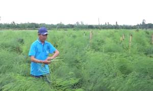 Trồng măng tây thu gần 200 triệu mỗi năm ở An Giang