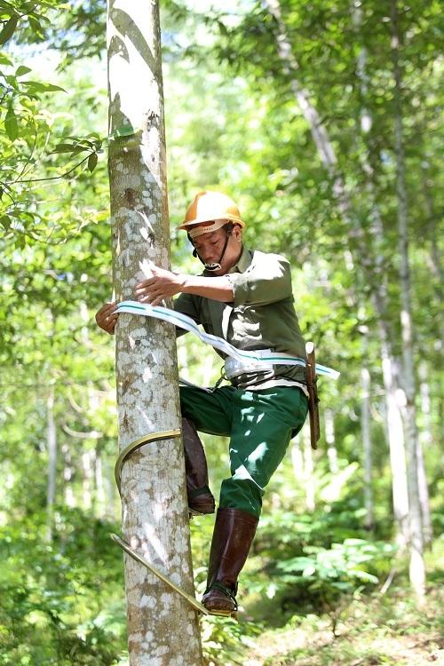 Người Dao vào rừng cạo nhựa bồ đề thu tiền triệu