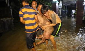 Người dân ở Đồng Nai chở heo, bò chạy lũ trong đêm