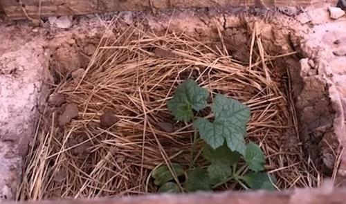 Cây mướp đầu tiên được bác sĩ Bùi Đức Thành đào hố, nhờ người lấy đất tốt bên ngoài doanh trại đem về trồng. Ảnh: BVDC