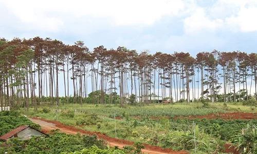 Khu rừng thông bị đầu độc. Ảnh: Khánh Hương.