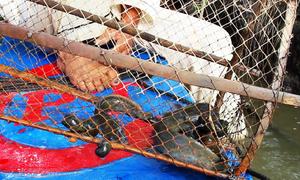 Lão nông vùng Đồng Tháp Mười đặt lợp bắt cá lóc, trê
