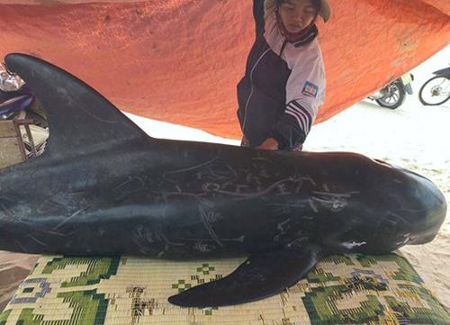 Cá voi dạt vào bờ biển xã Kỳ Phú chiều 21/8. Ảnh: Đức Hùng