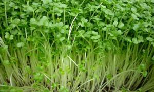Kỹ thuật ủ hạt giống rau mầm