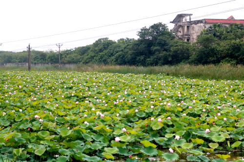 Đầm sen được trồng suốt 3 năm qua của ông Hậu.