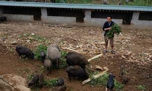 Lợn đen Mèo Vạc, đặc sản của cao nguyên đá