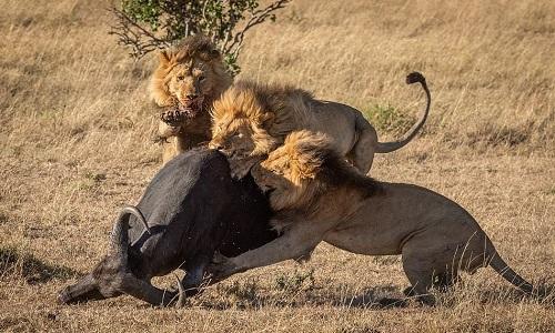 Con trâu đơn độc không thể thoát khỏi vòng vây của đàn sư tử. Ảnh: Nick Dale.