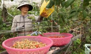 Nông dân Lâm Đồng thu lời gần 6 tỷ nhờ quả mâm xôi