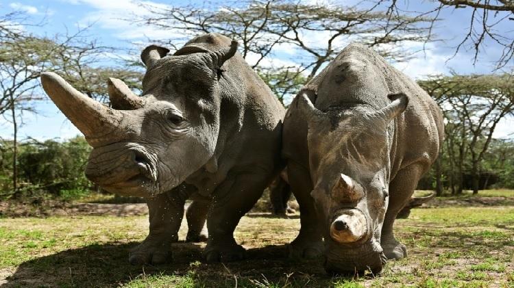 Hai cá thể tê giác trắng phương Bắc cuối cùng còn sống hiện nay.Ảnh:AFP.
