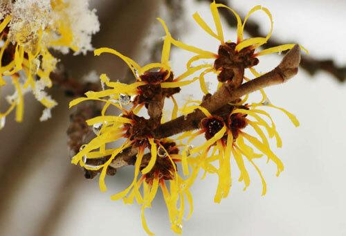 Hoa của câyHamamelis mollis rất đẹp nhưngbắn hạt siêu tốc. Ảnh:iflscience.