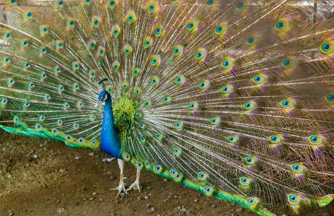 Trại nuôi hơn 200 con chim công
