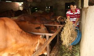 Nông dân Ba Vì làm giàu từ chăn nuôi bò thịt