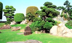 Hơn 100 cây vạn niên tùng cổ thụ trong công viên