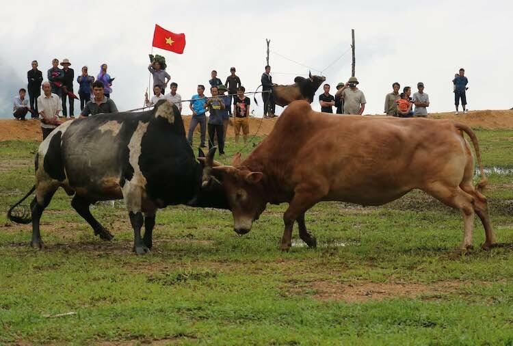 Một cặp bò thi đấu tại xã Nậm Cắn sáng 2/9. Ảnh: NH.