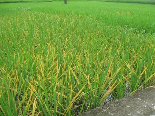 Ruộng lúa nhiễm đốm sọc vi khuẩn. Ảnh: Bộ Nông nghiệp và Phát triển Nông thôn.