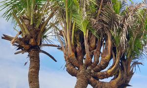Cây dừa 14 đọt