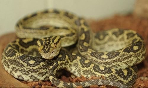 Rắn habu là loài rắn lục phổ biến ở Nhật Bản. Ảnh: Sputnik.
