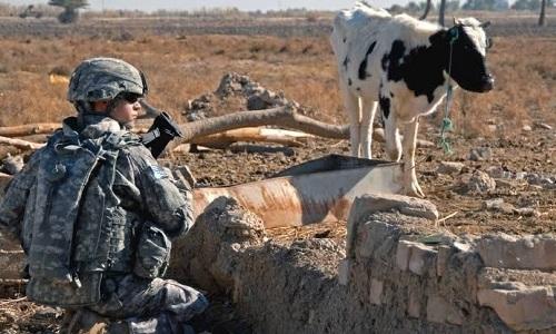 Binh sĩ Mỹ đứng cạnh một con bò gần căn cứ Kalsu, Iraq hồi tháng 12/2008. Ảnh: Archive Defense.