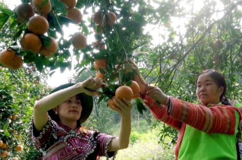 Hà Giang tìm đầu ra cho cam Bắc Quang - 2