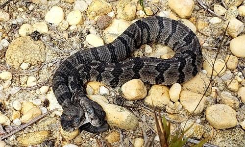 Con rắn đuôi chuông hai đầu có thể gặp khó khăn trong việc bắt mồi và có nguy cơ bị động vật ăn thịt tấn công. Ảnh: Fox.