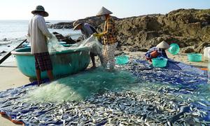 Ngư dân trúng cá trích