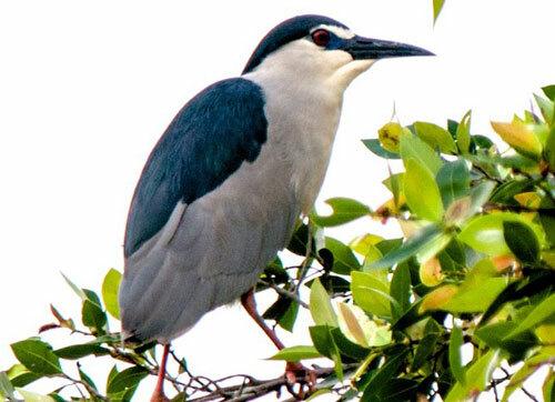 Chim vạc. Ảnh: Birdwatchingvietnam.