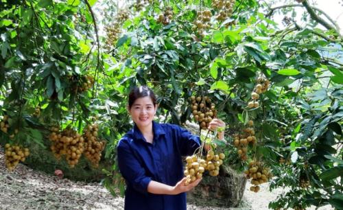 Người trồng nhãn ở Sơn La vui mừng có một mùa quả bội thu.