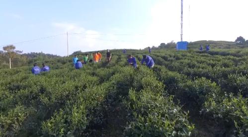 Vườn chè hữu cơ tại Phia Đén thuộc Công ty TNHH Kolia Cao Bằng. Ảnh: Hà Chi.