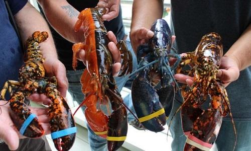 Bộ sưu tập tôm hùm hiếm ở Trung tâm Ngư nghiệp Ven biển Maine. Ảnh: CNN.