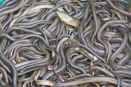 Một con lươn nặng từ 0,5 gram đến 5 gram. Ảnh: Đức Hùng