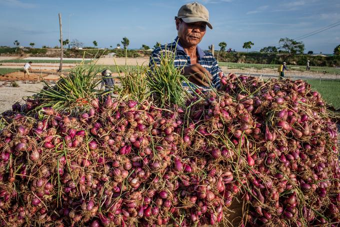 Nông dân đảo Lý Sơn thu hoạch hành tím