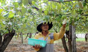 Nông dân thu tiền tỷ nhờ vây lưới trồng táo