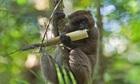 Vượn cáo vàng tuyệt chủng vì ăn măng chứa độc