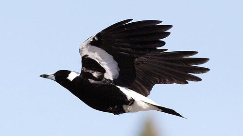 Một con chim ác là ở Australia. Ảnh: AAP.