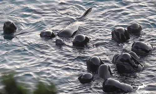 Đàn cá voi bơi xúm lại gần nhau chờ chết. Ảnh: Dolphin Project.